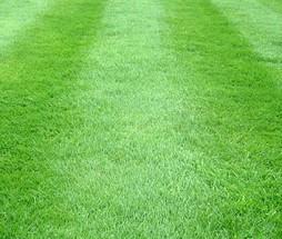 Turf Grass Seed