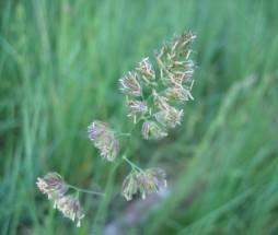 amba-orchardgrass