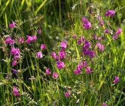 common-vetch