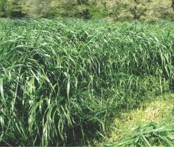Evergraze